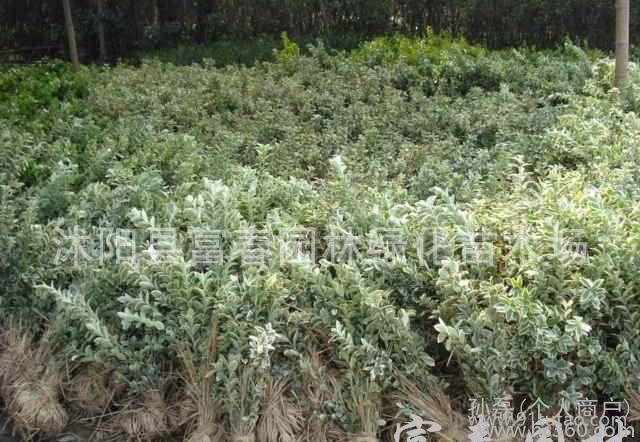 金叶瓜子黄杨、大叶黄杨、金边黄杨等绿化苗木