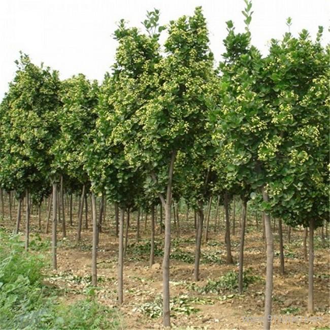 各种绿化苗木北海道黄杨 苗圃直销易成活北海道黄杨
