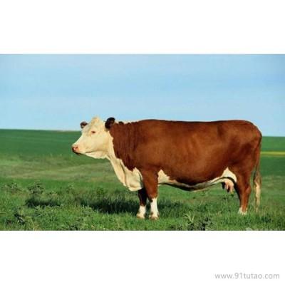 德利牧业  西门塔尔牛养殖 肉牛 种牛 厂家