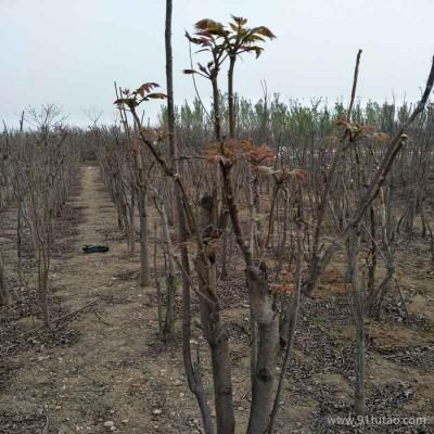 沃田 香椿苗 农户直供两年苗香椿树苗-没有中间商价格便宜