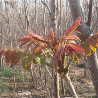 沃田 可地栽可大棚2公分香椿树苗当年采摘香椿芽经济效益高