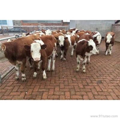 德利牧业  西门塔尔牛 小牛犊 牛犊 养殖场
