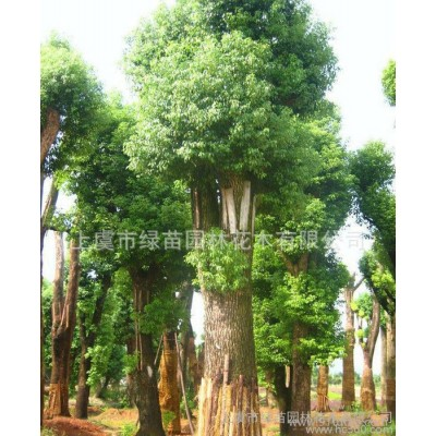 香樟树厂家  批发价销售 健壮高大 香樟树苗木