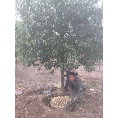 香樟树   12公分  300上车 大量供应香樟绿化树木 香樟树 规格齐全香樟苗