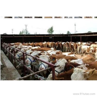 德利牧业  西门塔尔牛养殖场 肉牛 肉牛 养殖场