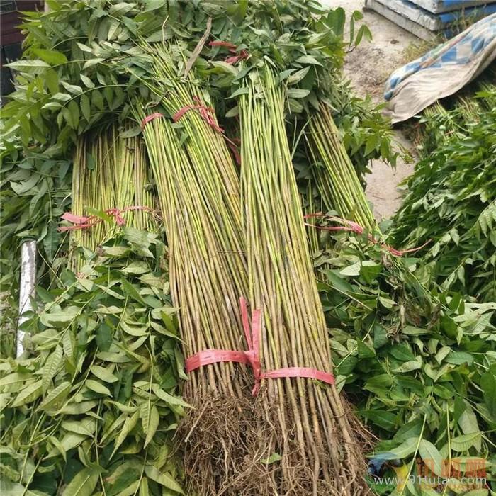 2cm红油香椿苗大量供应 香椿苗采购 成活率高 基地面向全国出售 量大从优 保质保量