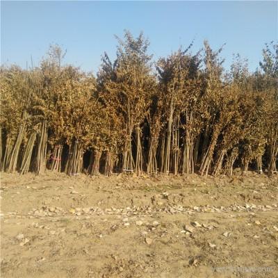 矮化香椿苗 品质好1米矮化香椿苗 成活率高大棚矮化香椿树苗价格