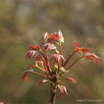 山东正宗红油香椿苗 供应大棚香椿苗 红油香椿苗大量批发 优质丰产