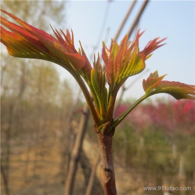 香椿苗批发香椿苗价格 采购香椿苗 成活率高  量大从优 大棚香椿苗直销