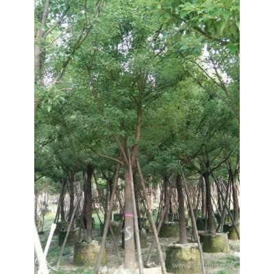 绿化工程香樟木 供应全冠 骨架 截杆 丛生移植香樟树场绿化乔木