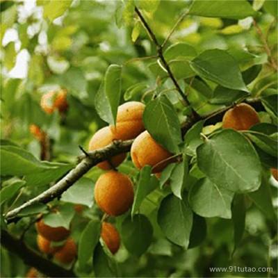 珍珠油杏苗大量批发 金太阳杏苗 新世纪杏树苗