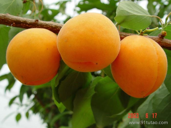 优质早熟杏子苗批发 金太阳杏