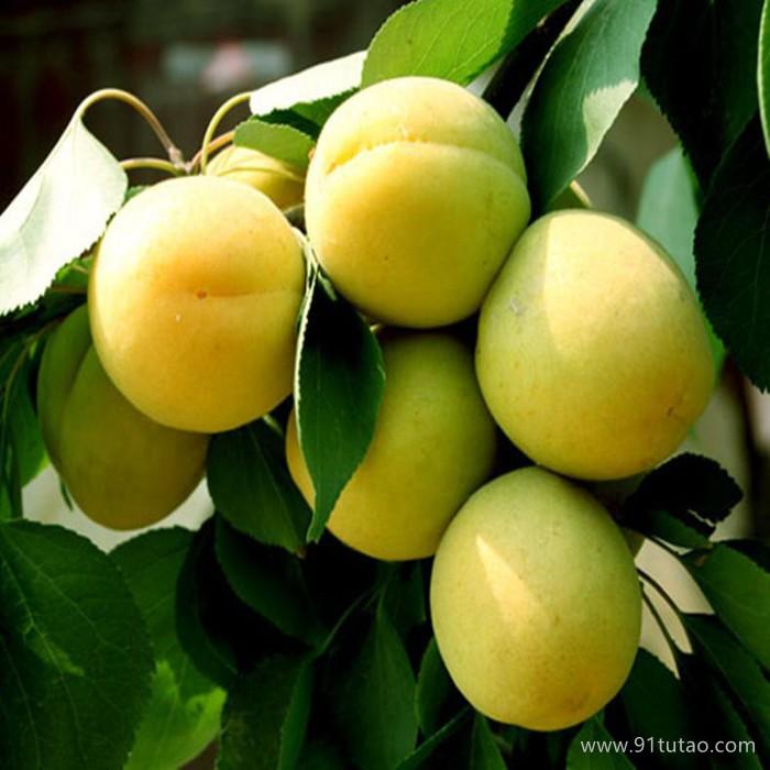 金太阳杏苗厂家 凯特杏苗 品种纯 、 山东杏苗基地