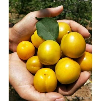 御苑农业 珍珠油杏  金太阳红杏树