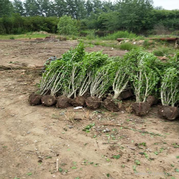 江苏木槿 木槿基地 木槿种植基地 木槿批发 木槿小苗