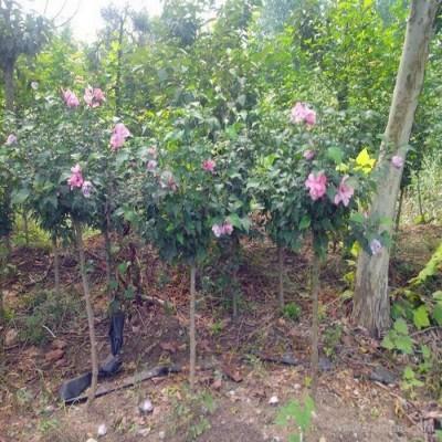供应丛生木槿苗 独杆木槿苗 红花木槿苗 多分支 木槿价格