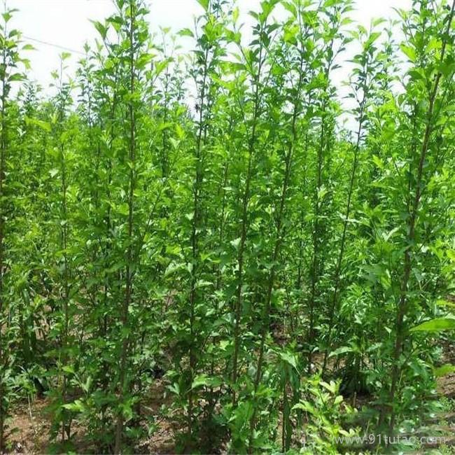 批量出售优质木槿树苗 多花色重瓣大花木槿苗 直销优质木槿苗