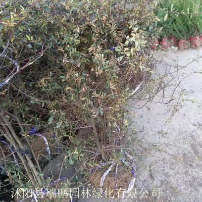 木槿 木槿小苗 木槿价格 木槿基地 木槿批发直径5公分 冠幅1.5米