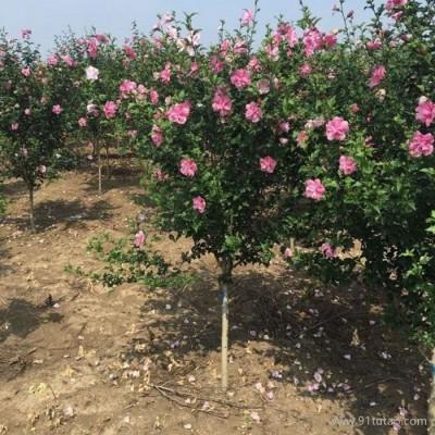 木槿 精品花灌木 可做花篱式绿篱 孤植 丛植 木槿批发 木槿基地 木槿种植基地
