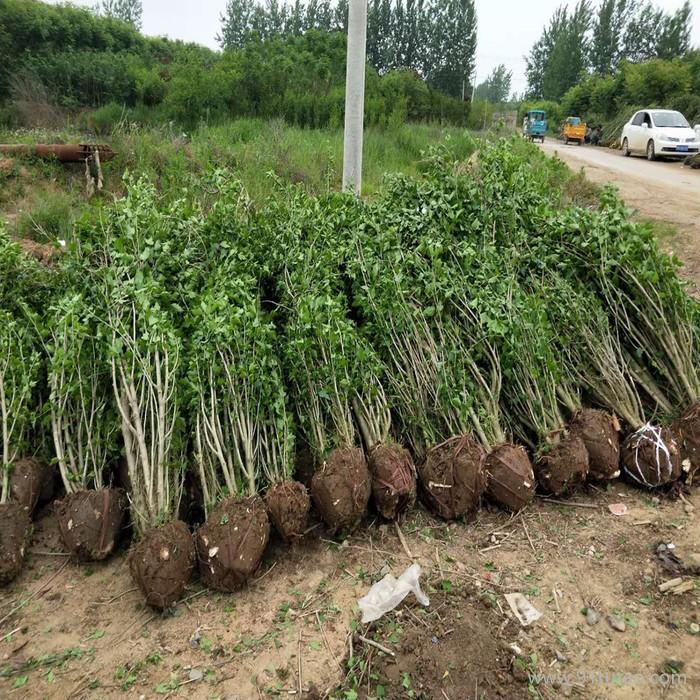 木槿 木槿基地 木槿种植基地 木槿批发 木槿苗