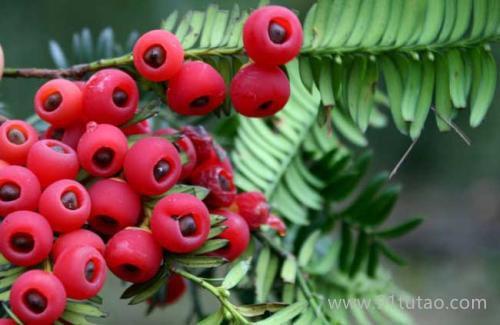 红豆杉种子 林木种子 批发红豆杉种子   红豆杉种子价格