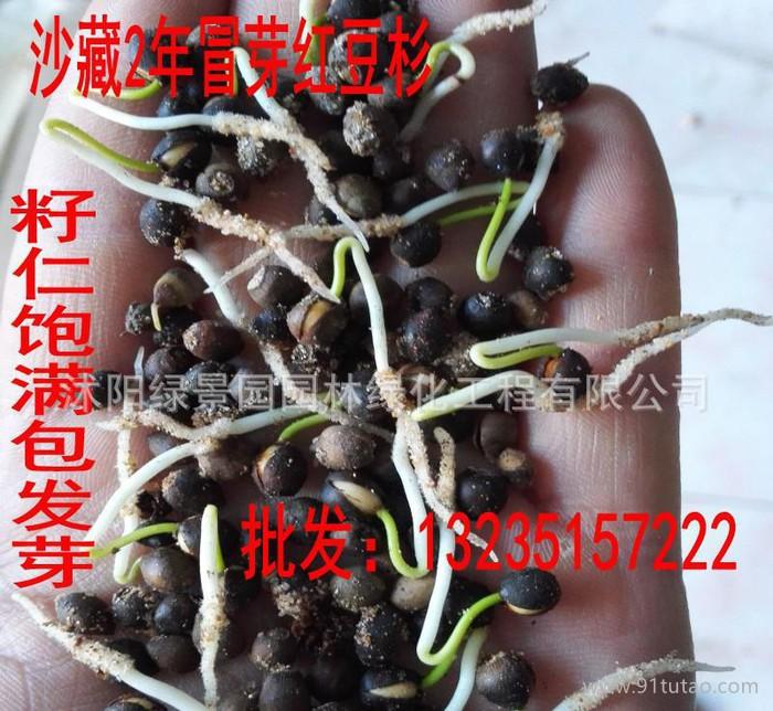 红豆杉种子曼地亚红豆杉南方红豆杉种子沙藏冒芽红豆杉 货到付款