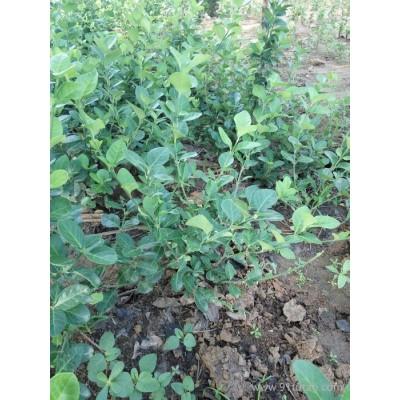 阿克苏地区常春藤啥时种抗逆性强