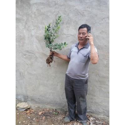 海南藏族自治州速生扶芳藤自然成熟