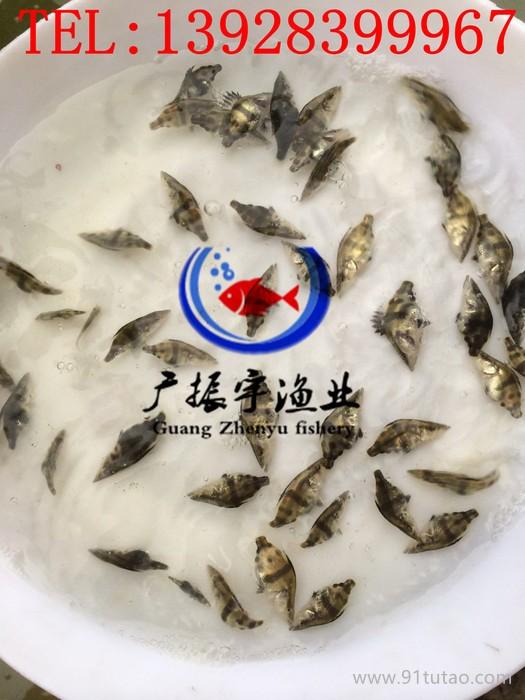 广振宇 出售台湾泥鳅泥鳅苗,泥鳅鱼苗批发厂家直供厂家 欢迎来电咨询!