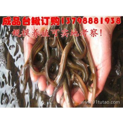 潜江/泥鳅正宗台湾泥鳅苗/台湾泥鳅寸苗批发/鄂州