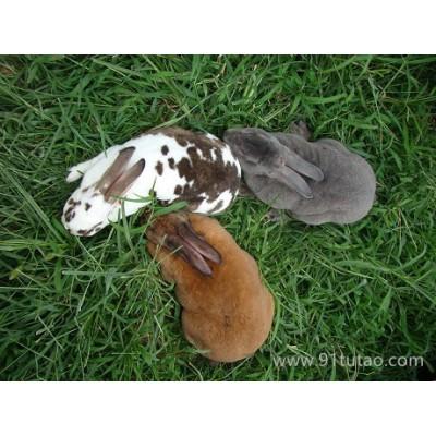 晟成牧业 獭兔养殖