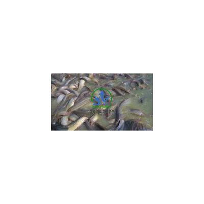 供应纯种一代台湾泥鳅苗
