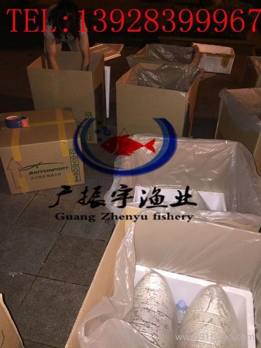 广振宇 出售台湾泥鳅泥鳅苗,泥鳅鱼苗批发厂家直供厂家批发 欢迎来电咨询!