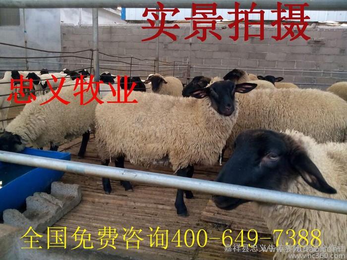 杜泊绵羊 黑头杜泊绵羊 杜泊绵羊羊羔 杜泊绵羊价格