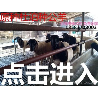 ,杜泊绵羊,纯种杜泊羊种羊,杜泊绵羊羊羔价格