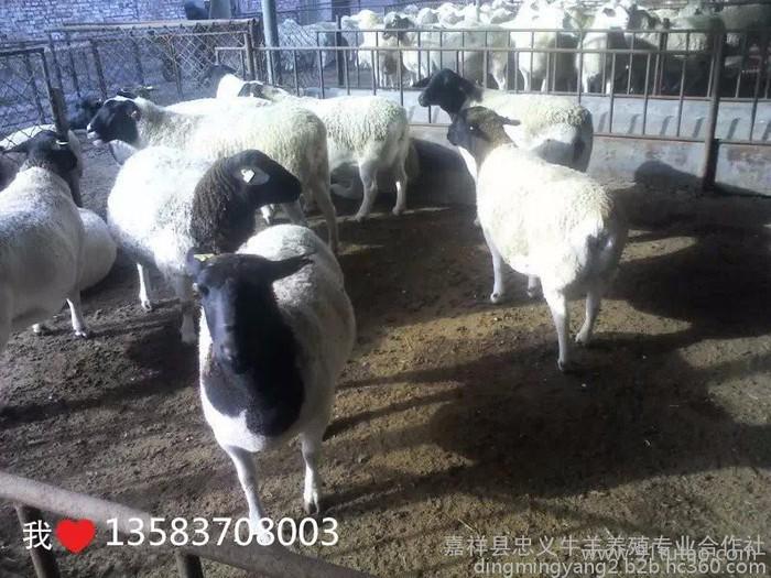 供应杜泊绵羊 纯种杜泊绵羊养殖 黑头杜泊绵羊价格 优惠