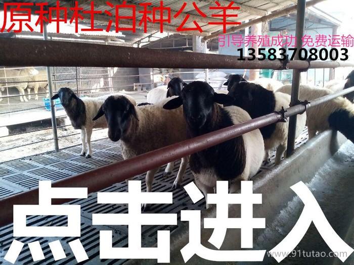 杜泊绵羊 黑头杜泊绵羊 纯种杜泊绵羊种羊价格