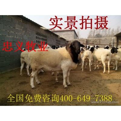 纯种杜泊绵羊母羊 杜泊绵羊养殖场  黑头杜泊绵羊 价格