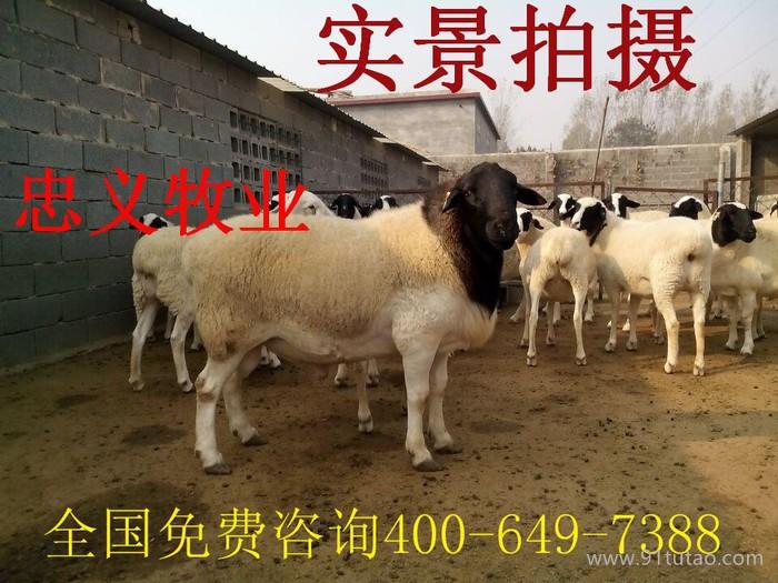 供应杜泊绵羊价格 杜泊绵羊批发 纯种杜泊绵羊多少钱