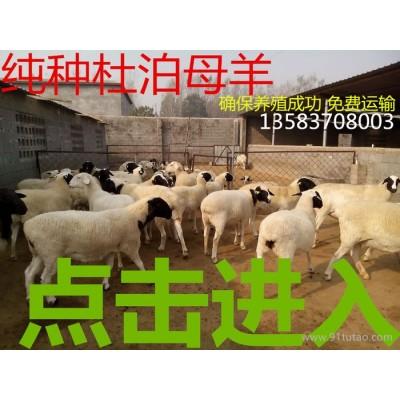 杜泊绵羊 黑头杜泊绵羊价格 纯种杜泊羊