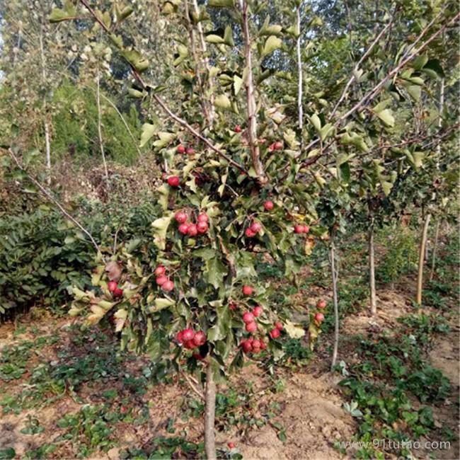 岱宗 山楂直售水果树苗嫁接山楂树苗 南北方种植果树苗 甜红籽山楂树苗