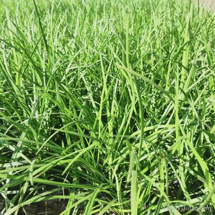 鸿志园艺 麦冬种苗 绿色植被 麦冬苗