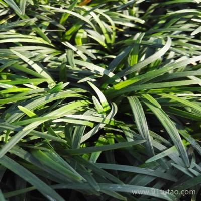 批发量供应日本矮麦冬 专业提供矮麦冬厂家基地|批发