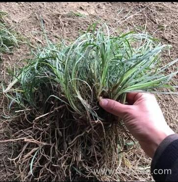 帮民麦冬种植销售麦冬根须批发许昌麦冬根须价格