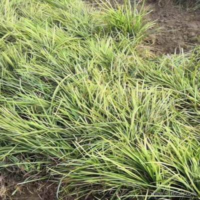 瑞豪 麦冬草 中叶麦冬 中叶麦冬批发 中叶麦冬小苗 中叶麦冬种植基地