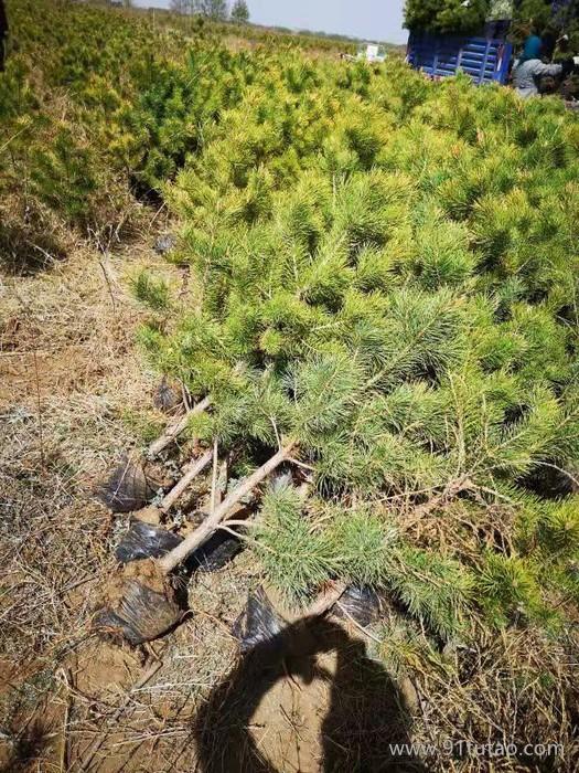 樟子松树苗 康保丰盛苗木 防护树 庭荫树 绿化苗木
