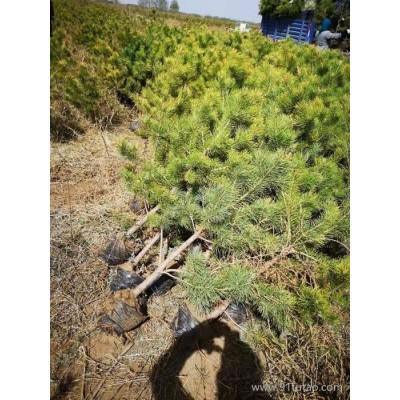 樟子松树苗 康保丰盛苗木 树苗树型好、耐寒、耐旱,成活率高