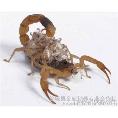蝎子 养殖技术 收购 养蝎子能赚钱吗 金航种养