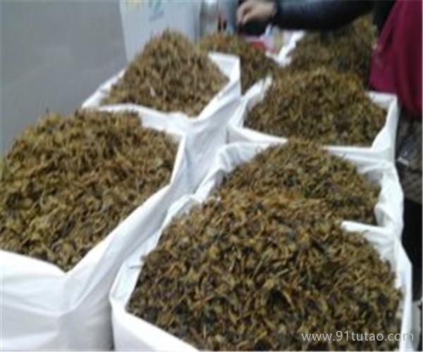 蒙城天宇 蝎子市场实拍  养殖蝎子厂家