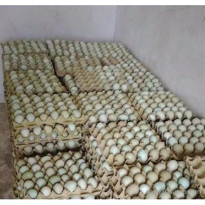 绿色生态绿壳蛋鸡种蛋 绿皮受精鸡蛋种蛋 高营养绿壳蛋土鸡批发